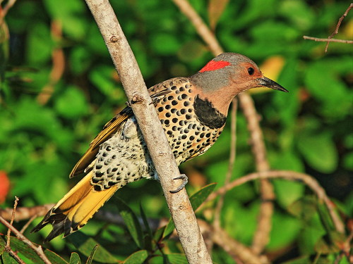 Northern Flicker 2-cool 20151011