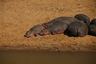 Hippos.
