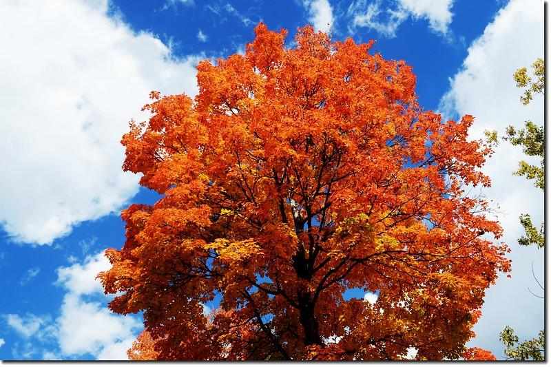 Sugar maple leaves (11)