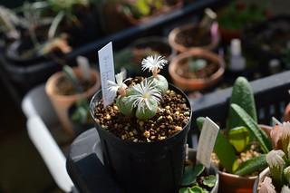 DSC_0021 Conophytum ficiforme Worcester 白花 コノフィツム フィキフォルメ ウースター