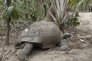 Aldabrachelys gigantea Ile aux Aigrettes_0419