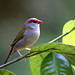 Small photo of Red-browed Finch (Neochmia temporalis)