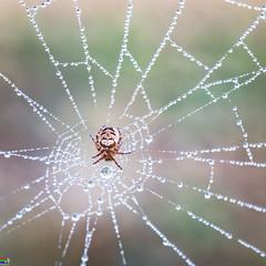 Araignée de rosée
