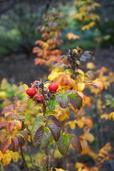 Rosa rugosa (beach rose, rugosa rose) in fall color, National Herb Garden