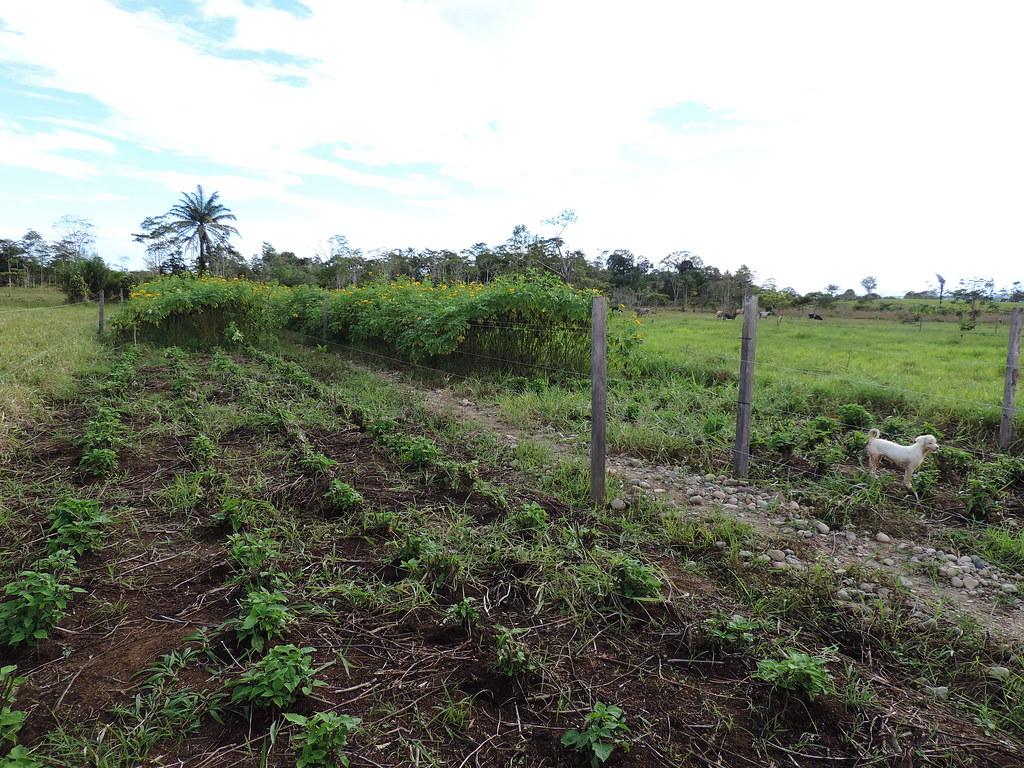 Franjas de botón de oro (Tithonia diversifolia) en rebrote y listas para corte