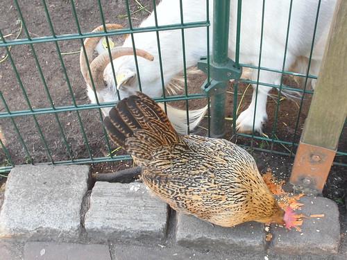 Huhn und Ziege