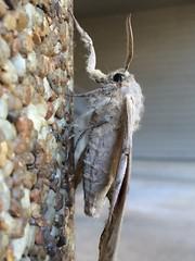 arthropod, pollinator, animal, bombyx mori, moth, moths and butterflies, wing, invertebrate, macro photography, fauna, close-up, bombycidae,