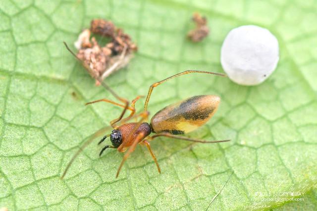 Comb-footed spider (Helvibis sp.) - DSC_0778