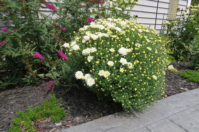 Overwintered Chrysanthemums