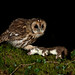 Tawny owl with stoat by S.Hatch