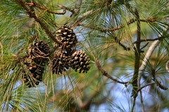 larch, branch, leaf, tree, nature, flora, conifer cone, spruce, twig, wildlife,