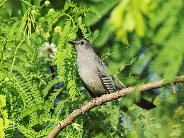 Gray Catbird 20150930