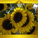 Sunflowers by judy4652