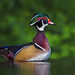 Wood Duck by E_Rick1502