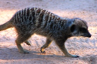 Meerkat 의 이미지. zoo meerkat taronga tarongazoo