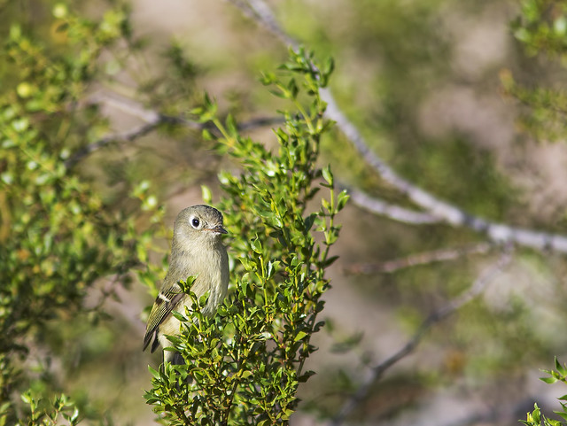 Gray Flycatcher 2 7D2_031115