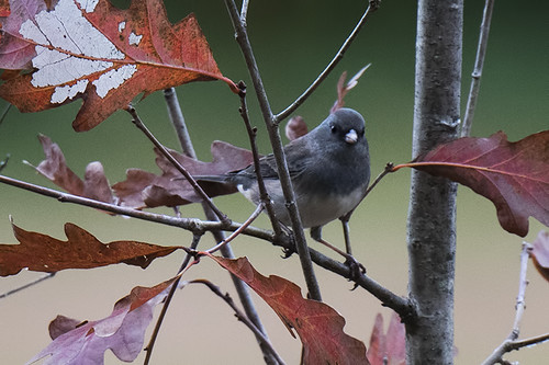 Oakland Lake: Dark-eyed Junco