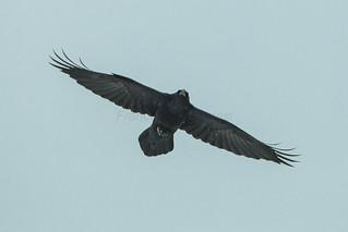 Common Raven - Varanger - Norway_S4E4464