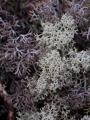 Cladonia Lichen