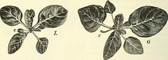 """Image from page 253 of """"Die mutationstheorie. Versuche und beobachtungen über die entstehung von arten im pflanzenreich"""" (1901)"""