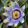 Passion Flower by PMillera4