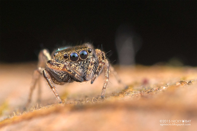 Jumping spider (Bryantella sp.) - DSC_3013