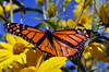 Monarch wings in detail as it rests on Maximillian's sunflower. by U.S. Fish and Wildlife Service - Midwest Region
