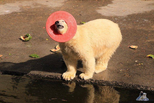 Eisbär Fiete im Zoo Rostock 05.09.2015  0226