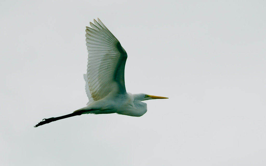 Great Egret (Ardea alba)_244