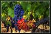 Grapes_9292d by bjarne.winkler
