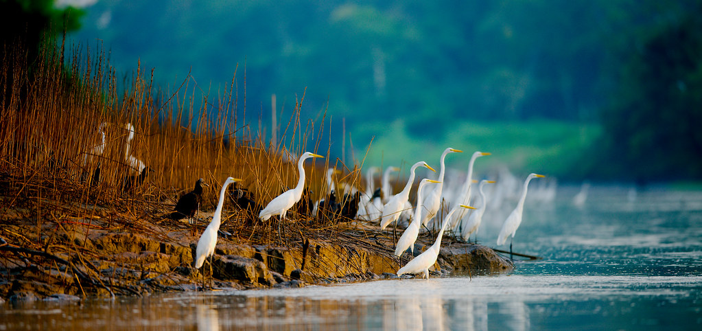 Great Egret (Ardea alba)_149