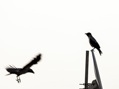 animal, wing, raven, crow, eurasian magpie, bird,