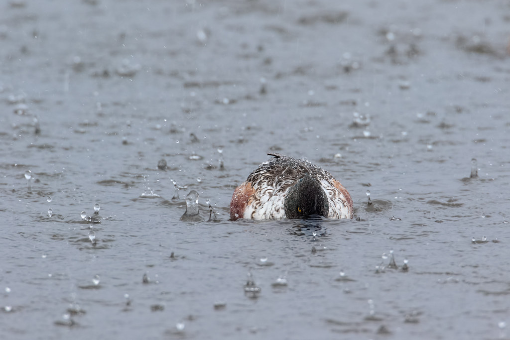 A male northern shoveler feeds during a heavy downpour