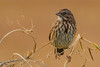 The simple Song Sparrow (Melospiza melodia) - Ladner, BC