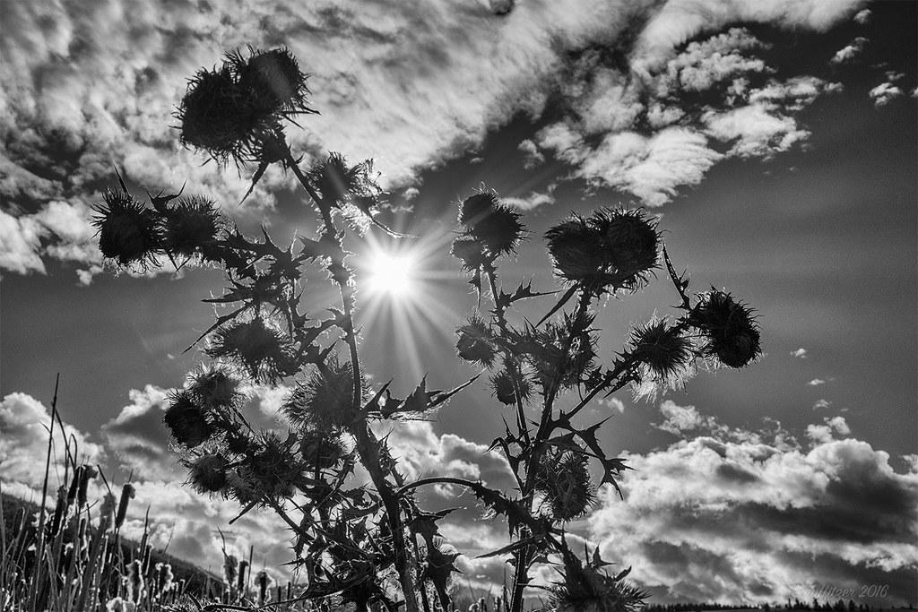 Sun & Thistle