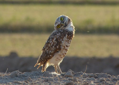 Burrowing owl (tilting head left)