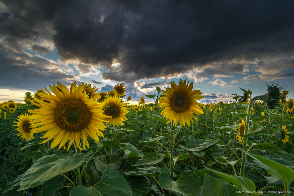 Sunflowers-3.jpg