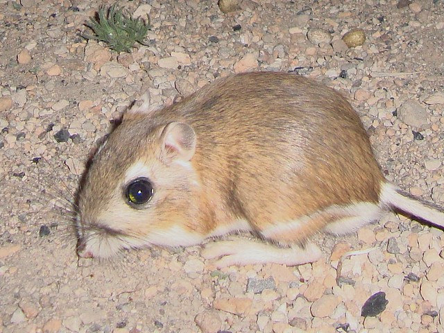 kangaroo rat crop