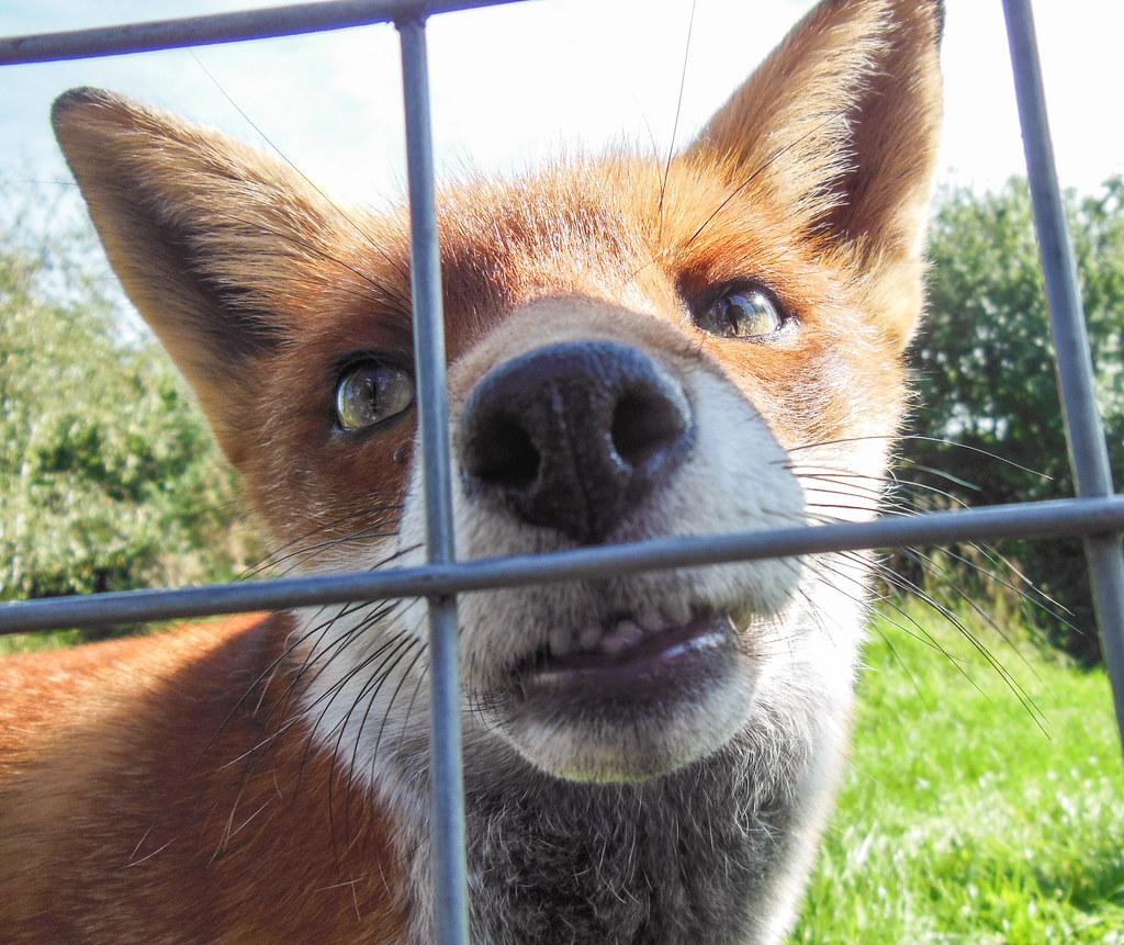 8534 Red Fox