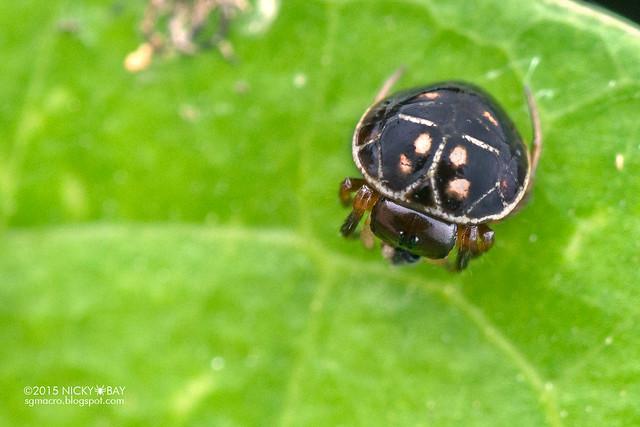 Turtle back orb weaver (Hypognatha scutata) - DSC_2194