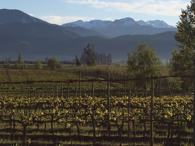Grape vines in Colchagua Valley