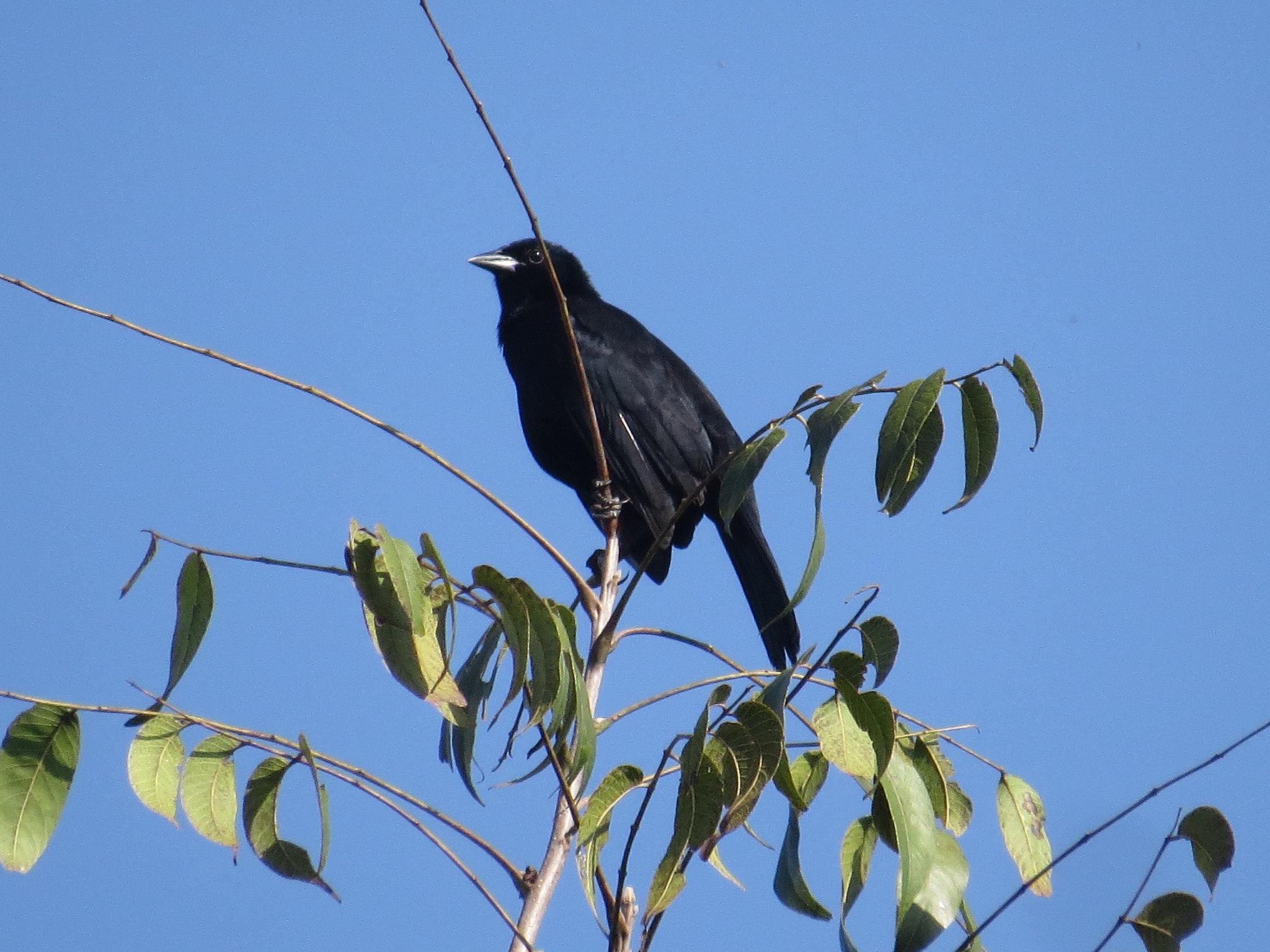 Melodious Blackbird by Seth Inman - La Paz Group