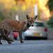 Urban fox in Bristol Street, Ian Wade by Disorganised Photographer - Ian Wade - Travel, Wil