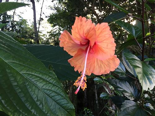 topes collantes escambray guamuhaya guamuaya montañas mountains mountain montañoso flower flor plant planta hibiscus