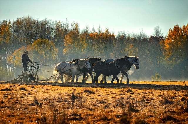 Amish Farmer Plowing
