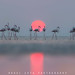 Greater Flamingos with Sunset by Rahul Zota
