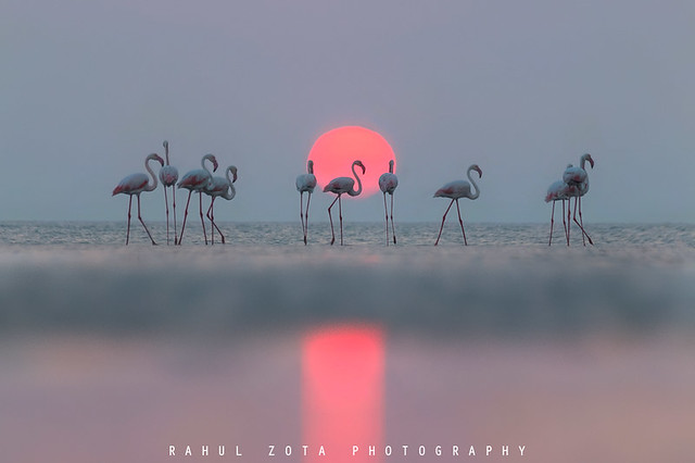 Greater Flamingos with Sunset