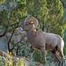 Bighorn Sheep -30 by frank.kocsis1