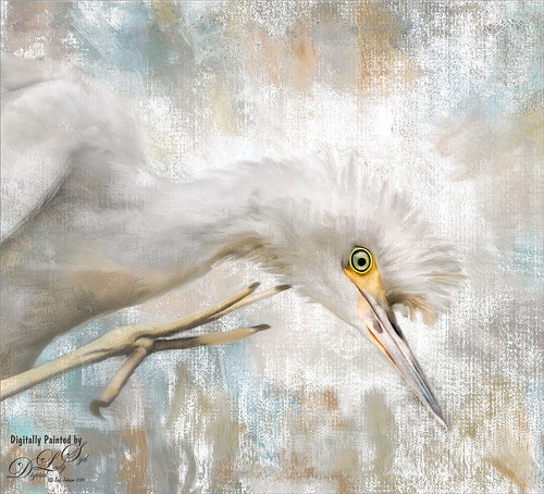 Image of a Cattle Egret