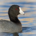American Coot by Turk Images